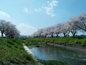 筑前町 草場川の桜並木